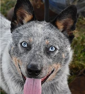 Australian Cattle Dog Mix Dog for adoption in Texico, Illinois - Ice
