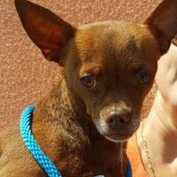 Chihuahua Mix Dog for adoption in Huntington Beach, California - CLYDE