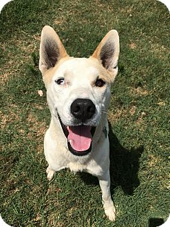 Husky/American Staffordshire Terrier Mix Dog for adoption in Guthrie, Oklahoma - Boston and Mama