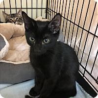 Domestic Shorthair Kitten for adoption in Oakley, California - Diego