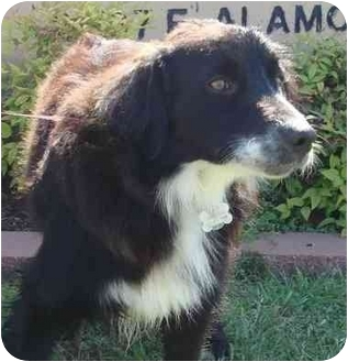 Border Collie Mix Dog for adoption in Brenham, Texas - Clayton
