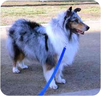 Sheltie, Shetland Sheepdog Dog for adoption in La Habra, California - Ziggy