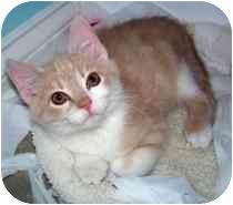 Domestic Shorthair Kitten for adoption in Marietta, Georgia - Simon