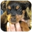 Photo 2 - German Shepherd Dog/Rottweiler Mix Puppy for adoption in Hammonton, New Jersey - Comet & Cupid