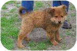 Chow Chow Mix Puppy for adoption in Summerville, South Carolina - Thelma