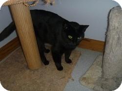 Domestic Shorthair Cat for adoption in Hamburg, New York - Syra