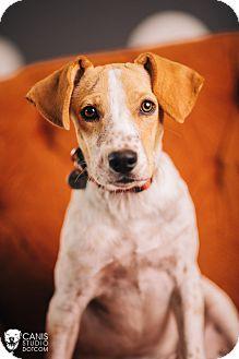 Australian Cattle Dog Mix Puppy for adoption in Portland, Oregon - Shorty