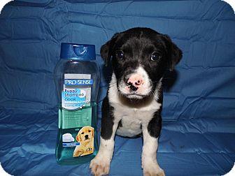 Labrador Retriever/Boxer Mix Puppy for adoption in Bel Air, Maryland - Marla