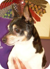 Fox Terrier (Smooth) Mix Dog for adoption in Bellingham, Washington - Zippy