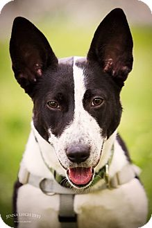 Border Collie/Australian Cattle Dog Mix Dog for adoption in Jersey City, New Jersey - Sissy Spacek