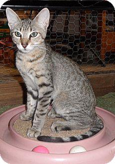 Domestic Shorthair Cat for adoption in Plano, Texas - TIRAMISU - MAU MIX SWEETIE!!!