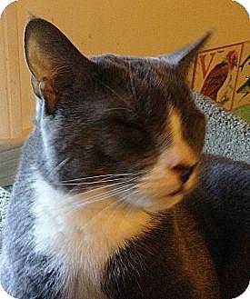 Domestic Shorthair Cat for adoption in N. Billerica, Massachusetts - Simon