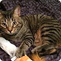 Adopt A Pet :: Vinnie - Mount Clemens, MI