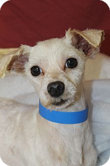 Maltese Mix Puppy for adoption in Waldorf, Maryland - Pipes