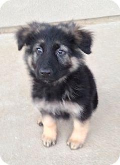 German Shepherd Dog Puppy for adoption in Sacramento, California - Nigel
