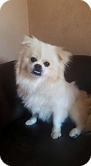 Pekingese/Pomeranian Mix Dog for adoption in Urbana, Ohio - Bender