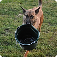 Adopt A Pet :: Malinois Girl - Hamilton, MT