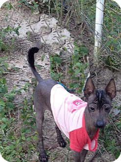 Xoloitzcuintle/Mexican Hairless Puppy for adoption in Leesburg, Florida - Phoebe ADOPTED