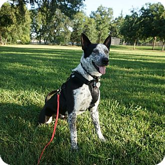 Border Collie/Blue Heeler Mix Dog for adoption in Corning, California - GUENTHER