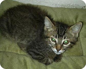 Domestic Mediumhair Cat for adoption in Phoenix, Arizona - Monty-Po