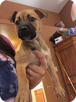Black Mouth Cur/Boxer Mix Puppy for adoption in Phoenix, Arizona - Peyton