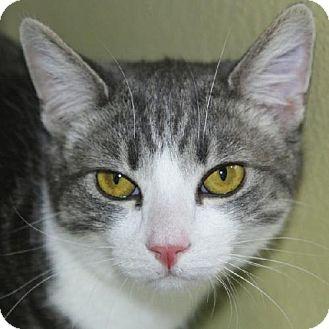 Domestic Shorthair Cat for adoption in Salem, Massachusetts - Glen