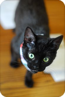 Domestic Shorthair Cat for adoption in Everett, Ontario - Onyx