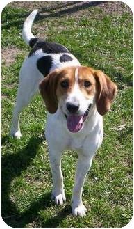 Hound (Unknown Type)/Foxhound Mix Dog for adoption in Aledo, Illinois - Lady