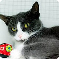 Domestic Shorthair Cat for adoption in Belleville, Michigan - Beth