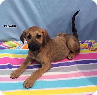 Shepherd (Unknown Type)/Retriever (Unknown Type) Mix Puppy for adoption in East Sparta, Ohio - Flower