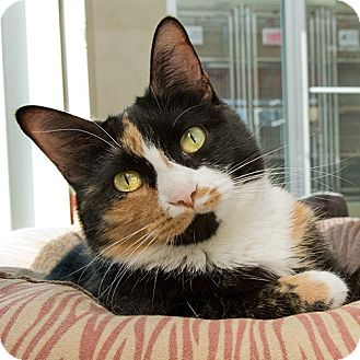 Domestic Shorthair Cat for adoption in Wilmington, Delaware - Hillare *UPDATED INFO*