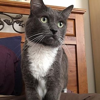 Domestic Shorthair Cat for adoption in Los Angeles, California - Greta (Greta Garbo)