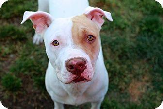 American Bulldog Mix Dog for adoption in Salem, Oregon - Bobby