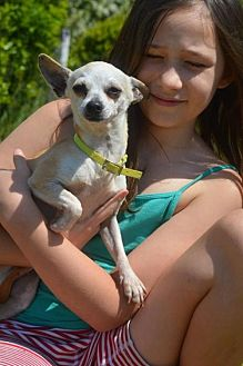 Chihuahua Dog for adoption in Vacaville, California - Cupcake