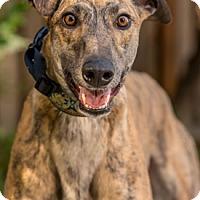 Adopt A Pet :: Saint - Walnut Creek, CA