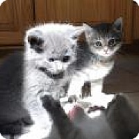 Adopt A Pet :: Stone and Onyx - Manchester, CT