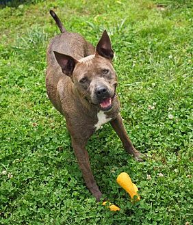 Pit Bull Terrier Dog for adoption in Washburn, Missouri - Lily
