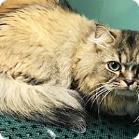 Adopt A Pet :: Little Man - Mt. Prospect, IL