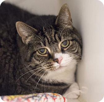 Domestic Shorthair Cat for adoption in West Chester, Pennsylvania - Sam