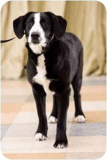 Labrador Retriever/English Springer Spaniel Mix Puppy for adoption in Portland, Oregon - Pepper