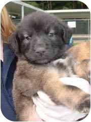 Labrador Retriever Mix Puppy for adoption in Hammonton, New Jersey - Sierra Mist