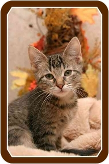 Domestic Shorthair Kitten for adoption in Sterling Heights, Michigan - Jade - ADOPTED!