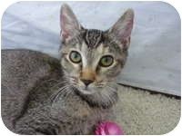 Abyssinian Cat for adoption in Tampa, Florida - Molly