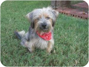 Havanese/Wheaten Terrier Mix Dog for adoption in New Milford, Connecticut - Charlie