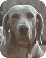 Weimaraner Dog for adoption in St. Louis, Missouri - Chico