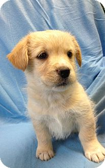 Retriever (Unknown Type) Mix Puppy for adoption in South Haven, Michigan - Jack (adoption pending)