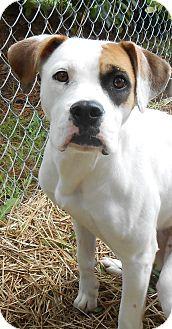 Boxer Dog for adoption in Murphysboro, Illinois - Sierra Nevada