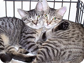 Domestic Shorthair Kitten for adoption in Jersey City, New Jersey - Jennie