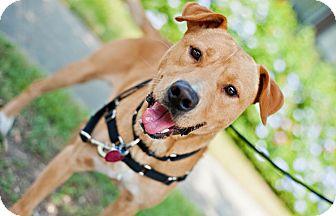 Labrador Retriever Mix Dog for adoption in Houston, Texas - Tuck