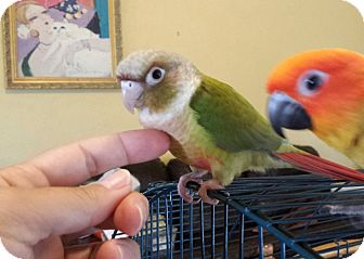 Conure for adoption in Weatherford, Texas - *LACIE*